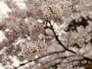桜 見頃 春