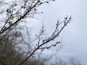蕾 花 枝